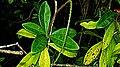 Pilocarpus riedelianus Engl. (2879404421).jpg