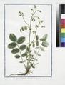 Pimpinella Agrimonioides odorata (NYPL b14444147-1125102).tiff