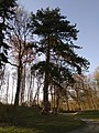 Pin noir (Parc du château de Dongelberg).jpg