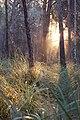 Pinar al amanecer - panoramio.jpg