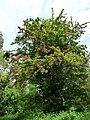Pink hawthorn in hedge near Arger Fen - geograph.org.uk - 1314124.jpg
