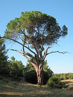Pino del Guapero (Casasola, Alcadozo).jpg