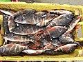 Pintadilla - Cheilodactylus variegatus-JMM-IMG 2591.jpg