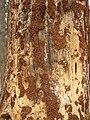 Pinus-sylvestris+Phaenops-cyanea-18-02-2010 050.jpg