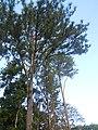 Pinus caraibaea.jpg