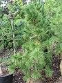 Pinus cembra Pygmaea 0zz.jpg