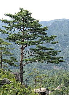 Pine Genus of plants in the conifer family Pinaceae