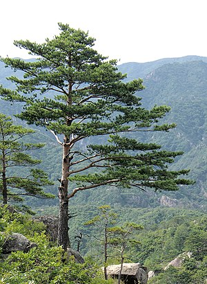 Pine - Japanese red pine (Pinus densiflora), North Korea