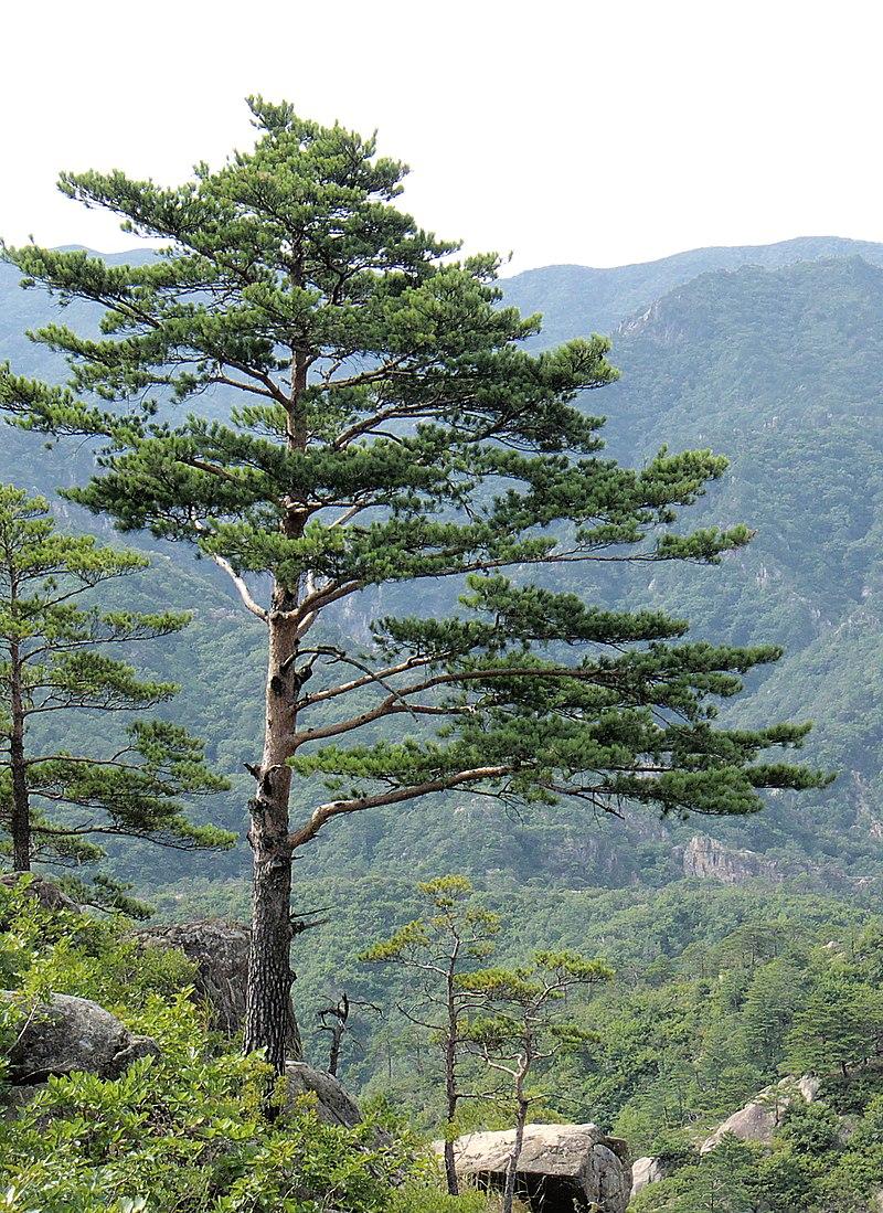 Pinus densiflora Kumgangsan.jpg