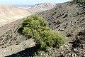 Pinus halepensis kz03 (Morocco).jpg