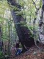 Pinus heldreichii subadriatic SE Dinaric Alps Mt Orjen 2.JPG