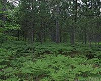 Pinus resinosa forest USFWS.jpg