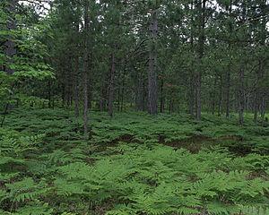 Seney National Wildlife Refuge - Pinus resinosa forest, with Pteridium aquilinum understorey. Seney National Wildlife Refuge
