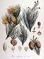 Pinus sylvestris — Flora Batava — Volume v14.jpg