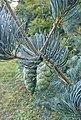 Pinus wangii subsp kwangtungensis kz3.jpg