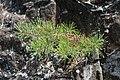 Pitch Pine at Pinnacle Rock 5.jpg