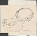 Pithecus satyrus - schedel - 1700-1880 - Print - Iconographia Zoologica - Special Collections University of Amsterdam - UBA01 IZ19800072.tif