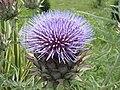 Pitsunda, Abkhazia, Clover Flower.jpg