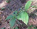 Plant in nature reserve Macie diery (2).jpg