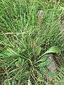 Plantago lanceolata, Plantaginaceae.jpg