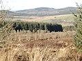 Plantation near Hayfield Knowe - geograph.org.uk - 714314.jpg