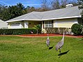 Plastic Flamingos and Live Sandhill Cranes in Florida Suburb - panoramio.jpg