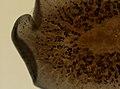 Pleioplana atomata (YPM IZ 073827) 01.jpeg