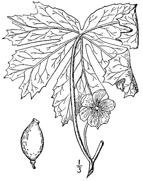 File:Podophyllum peltatum L Mayapple.tiff