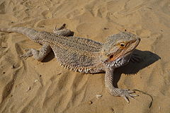 Pogona vitticeps close-up 2009 G3.jpg