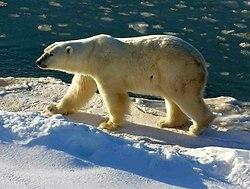 Un ours blanc au Parc national Wapusk, Canada