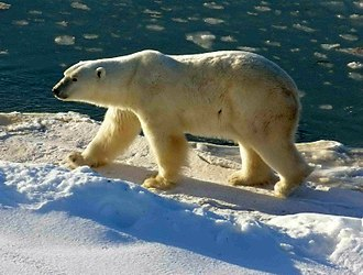 Wapusk National Park - Image: Polar Bear 2004 11 15