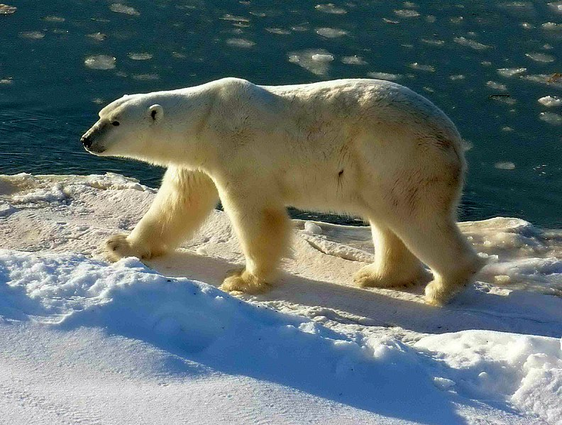 "Oh no, not this rubbish again: ""Recent projections suggest polar bears could be extinct within 70 years"" 792px Polar Bear 2004 11 15"