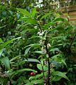 Polygonatum punctatum - Flickr - peganum (1).jpg