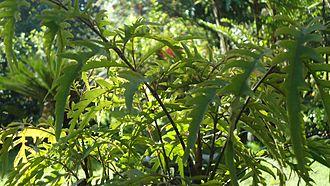 Polyscias fruticosa - Image: Polyscias fruticosa 1