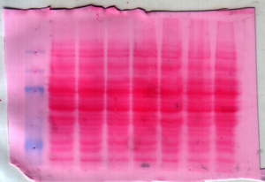 Ponceau S - A nitrocellulose membrane stained with Ponceau S dye for protein detection during western blotting. The blue bands on the left are protein markers for various molecular weights.