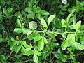 Poncirus trifoliata02.jpg