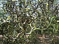 Poncirus trifoliata - Flying Dragon - National Arboretum, Washington DC.jpg