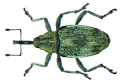 Poophagus sisymbrii (Fabricius, 1776) (8553756323).png