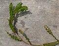 Potamogeton crispus 01-07-2010.jpg