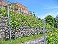 Prenzlau LaGa 2013 - Weinberg (Vineyard) - geo.hlipp.de - 37484.jpg