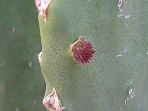 Nopal - Image: Prickly Pear 2