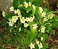 Primroses, Clandeboye wood - geograph.org.uk - 793370.jpg