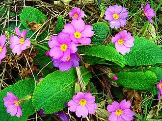Primula vulgaris - Primula vulgaris subsp. sibthorpii