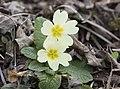 Primula acaulis subsp. acaulis (Çuha çiçeği) 04.jpg