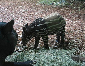 Baby Malayan Tapir, one month old, at the Wood...