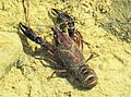 Procambarus clarkii - Louisiana Crayfish (38991407315).jpg