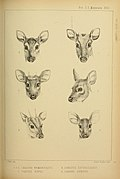 Proceedings of the Zoological Society of London (Mammalia Plate XXVII) (7629953818).jpg
