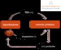 Prolactin regulation.png