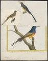 Promerops violacea - 1700-1880 - Print - Iconographia Zoologica - Special Collections University of Amsterdam - UBA01 IZ19000327.tif