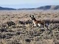 Pronghorn at Seedskadee National Wildlife Refuge (51164088666).jpg